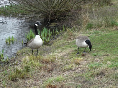 canada geese - homeschool pond study