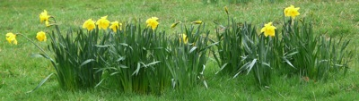 daffodils - homeschool pond study