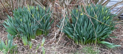 daffodils in bud - homeschool pond study