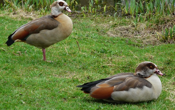 egyptian geese - homeschool pond study.JPG
