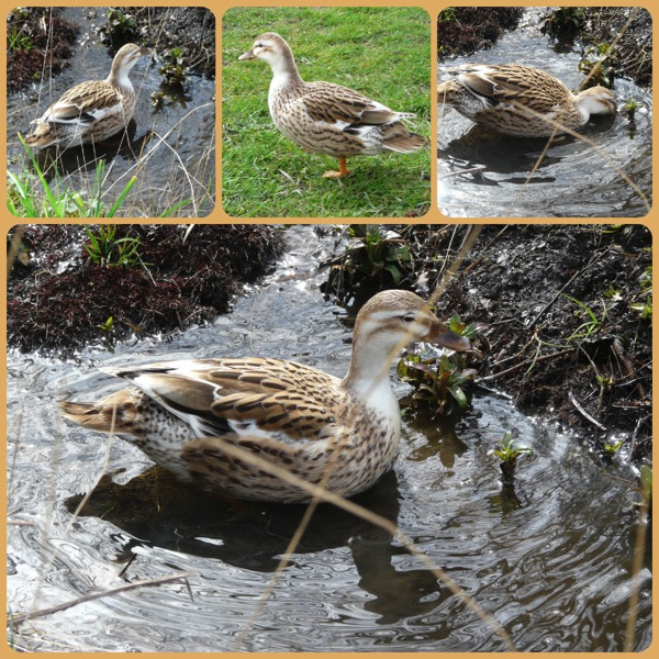 Mystery duck collage