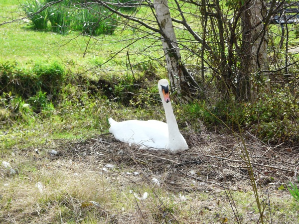 nesting swan - homeschool pond study