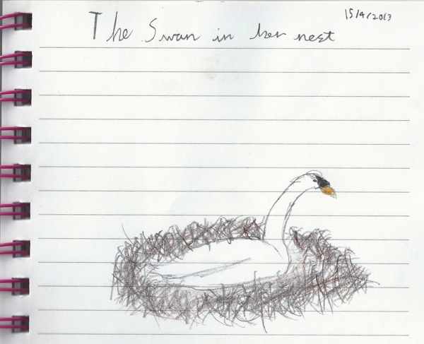 swan sketch - homeschool pond study