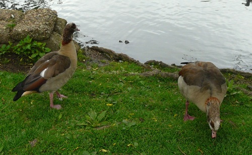 Egyptian geese - homeschool pond study