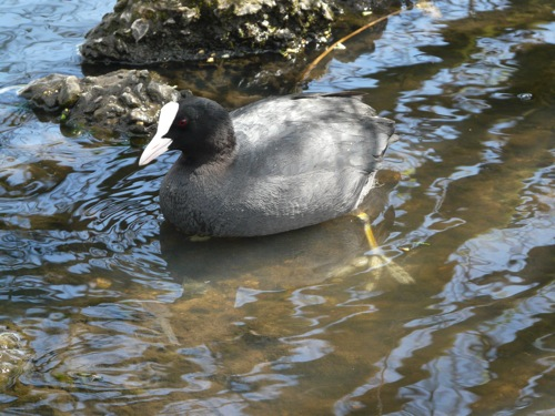 coot - homeschool pond study