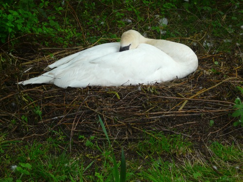 homeschool pond study nesting swan