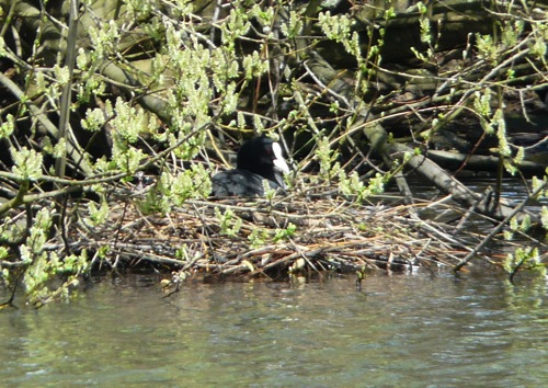 nesting coot - homeschool pond study