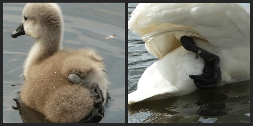 Cygnet and swan leg comparison