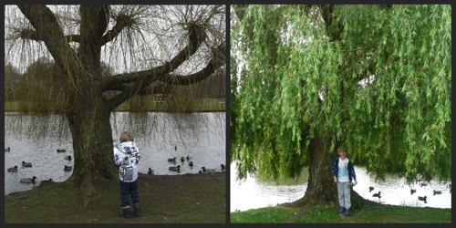 Willow tree nature study