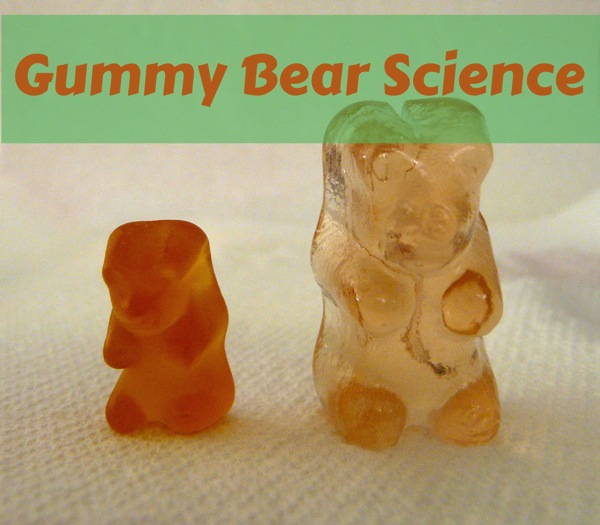Gummy bear science  osmosis fun for elementary kids